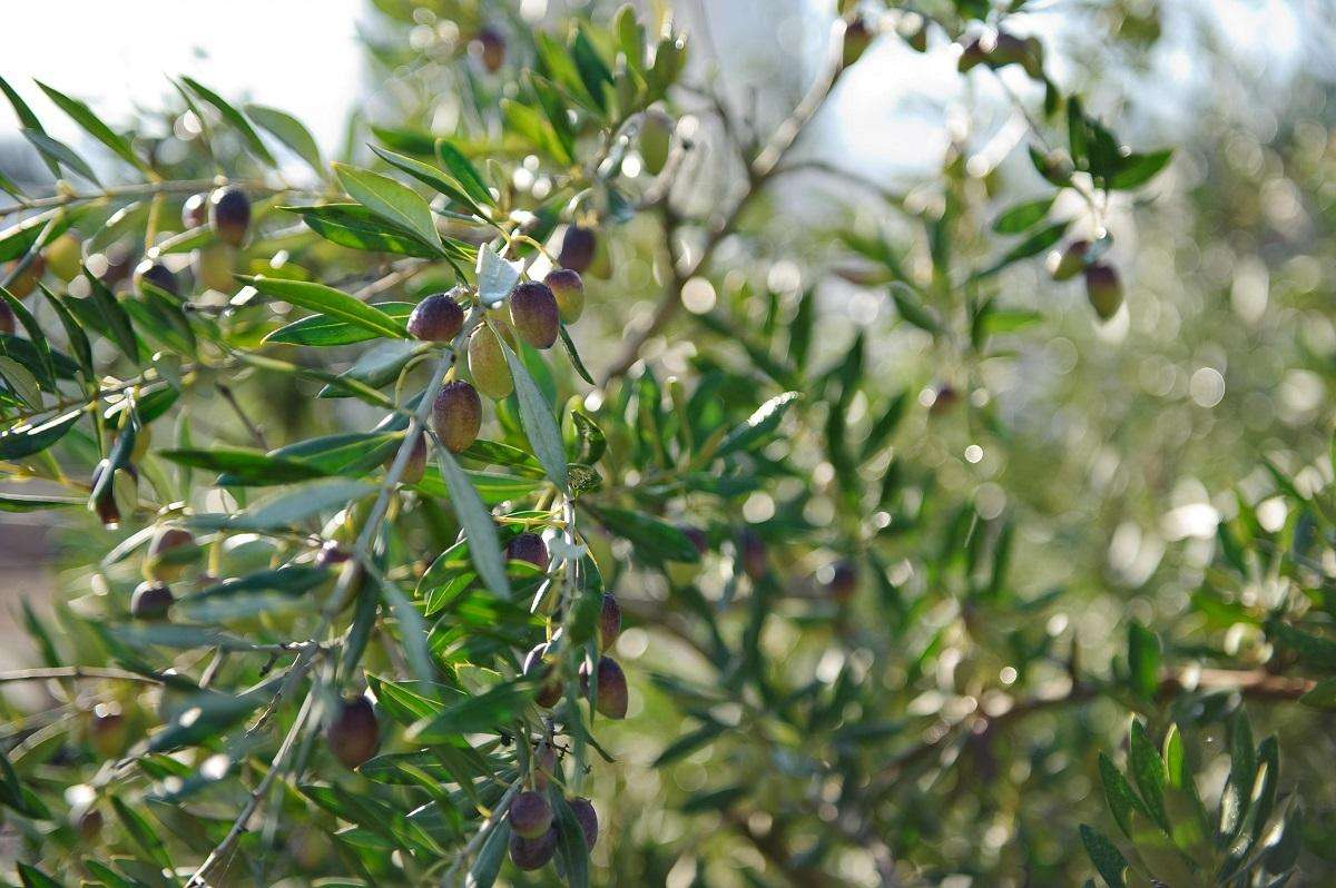 How do you make the best Olive Oil in the world
