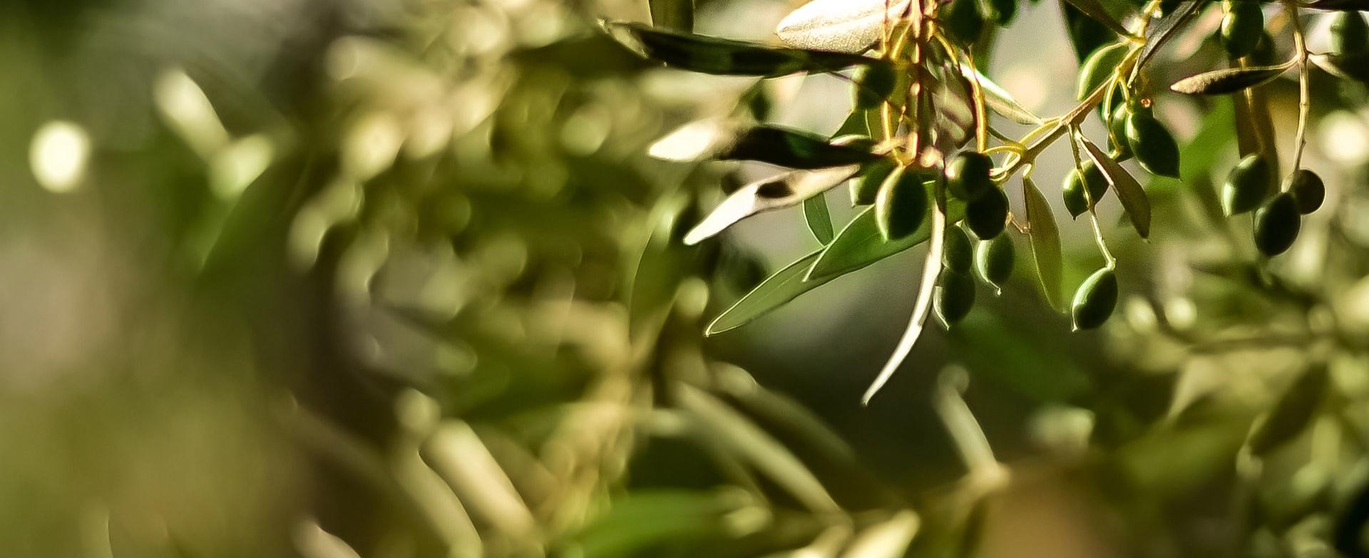 Imagen Olive oil news