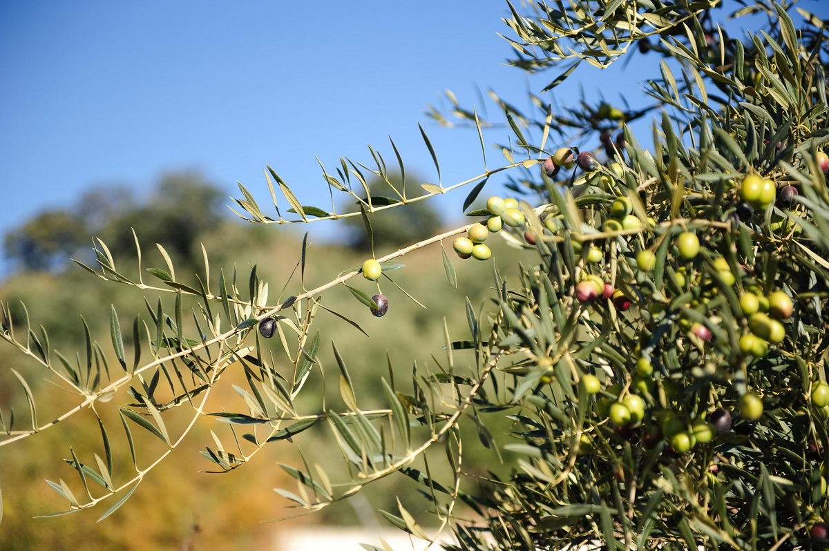 EVOO – Extra Virgin Olive Oil
