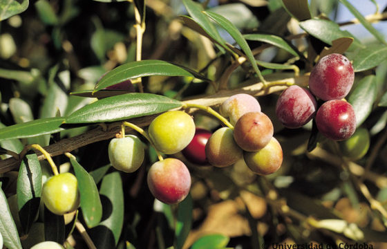 What is Arbequina extra virgin olive oil?